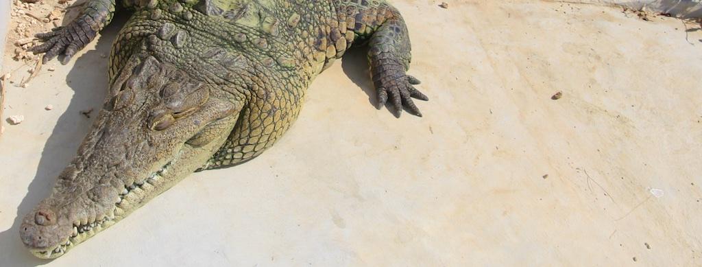 Alligator on pavement